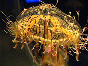 Jellyfish - A flower hat jelly (Olindias formosa) photographed at the Osaka Aquarium Kaiyukan