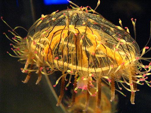 Olindias formosa1