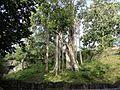 One Banyan Tree.jpg