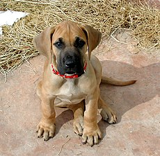 Oola the Great Dane puppy.jpg