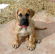 Oola the Great Dane puppy.jpg