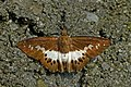 Open wing busking of Seseria sambara Moore, 1866 – Notched Seseria (Sikkim White Flat) WLB DSC 9023.jpg