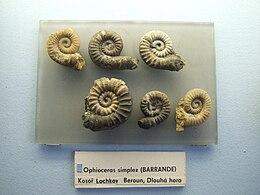 Ophioceras simplex Palaeontological exhibition Prague