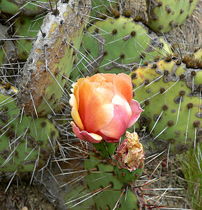 Description de l'image Opuntia phaeacantha 1.jpg.