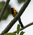 Orange-crowned Oriole - Darién - Panama (48444344772).jpg
