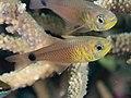 Orangelined cardinalfish (Taeniamia fucata) (33679592238).jpg