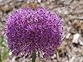 Ornamental Onion Allium 'Gladiator' Flower Head 2691px.jpg