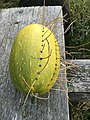 Ornamental gourd, probably Cucurbita pepo, decorated with dry stalks, Kaitsch, Kreis Weimarer Land, Thuringia, Germany 04.jpg