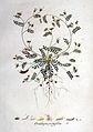 Ornithopus perpusillus — Flora Batava — Volume v1.jpg