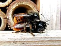 Osmia cornuta (Megachilidae) - (imago), Arnhem, the Netherlands.jpg