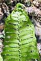 Osmunda claytoniana 14zz.jpg