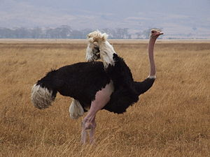 Ostrich Ngorongoro 04.jpg