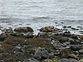 Otter enjoying lunch on the Sound of Islay - geograph.org.uk - 931909.jpg