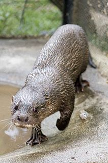Hairy-nosed otter species of mammal