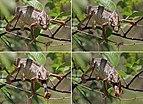 Oustalet's chameleon (Furcifer oustaleti) male feeding Anja Community Reserve composite.jpg