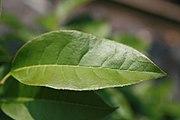Oxydendrum arboreum 14zz.jpg