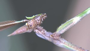 File:Oxyothespis nilotica - 2017-02-20.webm