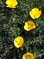 P20130507-0057—Eschscholzia californica (maritime form)—Point Reyes (8742046958).jpg