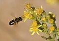PN del Garraf - Mosca de las flores - Flower fly (3984733757).jpg