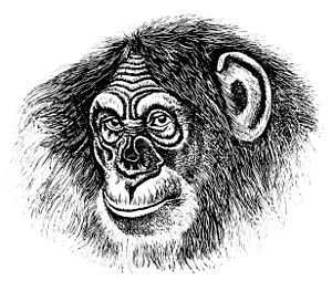 PSM V13 D452 Head of a chimpanzee.jpg