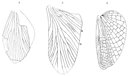 PSM V68 D252 Evolution of hind cockroach wings through geologic ages.png