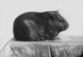 PSM V77 D432 A dark smooth guinea pig.png