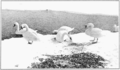 PSM V83 D444 Wild swans in the winter.png
