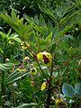 Paeonia delavayi trolloides - Flickr - peganum.jpg