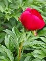 Paeonia peregrina Piwonia obca 2015-05-17 04.jpg