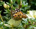 Painted Lady. Vanessa cardui - Flickr - gailhampshire.jpg