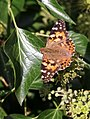 Painted Lady (29866277836).jpg