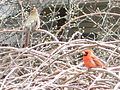 Pair of Northern Cardinals2.JPG