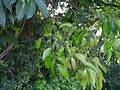 Palarana (Malayalam- പാലരണ) (16105681968).jpg