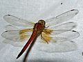 Pale Yellow Widow (Neurothemis intermedia atalanta) female (7863432622).jpg