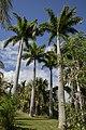 Palmier Royal (Roystonea oleracea ).jpg