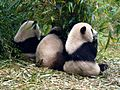 Panda giganti al Giant Panda Breeding Research Base Chengdu.jpg