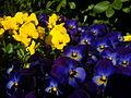 Pansies Viola-tricolor-hortensis Jaybear-DSC08175 2011-0325.JPG
