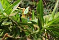 Panther chameleon (Furcifer pardalis) at Hagenbeck Zoo II.jpg