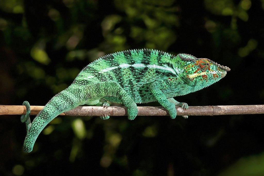 Panther chameleon (Furcifer pardalis) male Nosy Be.jpg
