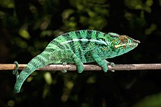 Panther chameleon (Furcifer pardalis) male Nosy Be.jpg