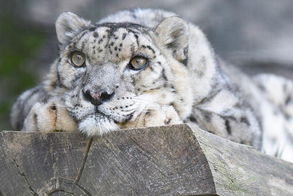 Panthera uncia Shynghyz Tama Zoo 2015-09-20