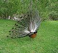 Paon de dos - peacock.jpg