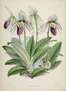 Paphiopedilum superbiens (as Cypripedium s.) Warner, Williams - Select orch. pl. 2nd pl. 12 (1865-1875)