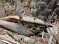 Papilio demodocus 0004.jpg