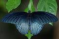 Papilio memnon heronus male back 20120929.jpg