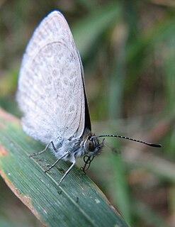 <i>Paralucia spinifera</i>