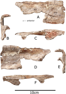 Nasal bone of Paranthodon shown from in front, both sides, the top and bottom