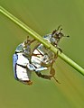 Pareja de escarabajos azules - couple off blue beetles (560973394).jpg