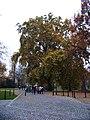 Park Kampa, památný platan javorolistý.jpg