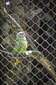 Parque Zoológico de São Paulo - Sao Paulo Zoo - Papagaio do Mangue (11540038943).jpg